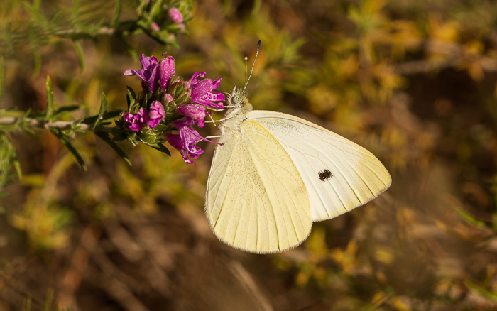 Close up of a small white butterfly resting on a pink flower.
