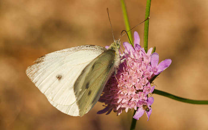 Close up of a small white butterfly with its proboscis visible sucking nectar from a flower.