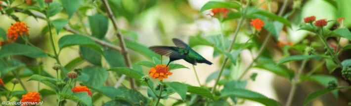 Kolibrie, district Wanica