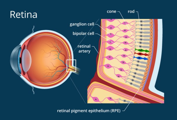 Eye Diseases : A new model of the retina can predict the ...