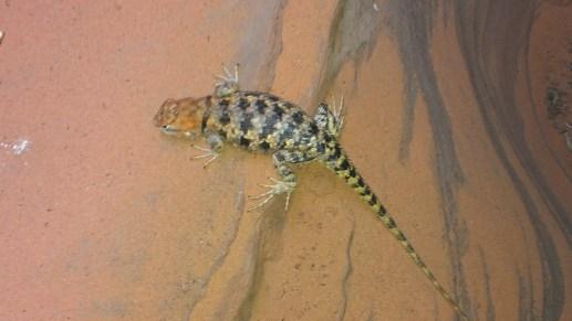 Lizard in a Rattlesnake