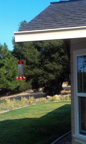 Red Tail humming bird