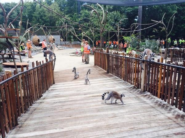 http://lloydgroup.com.au/melbourne-z00-lemur-exhibit-complete/