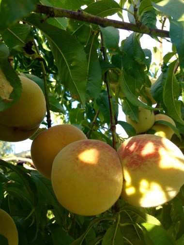 golden peaches on the tree
