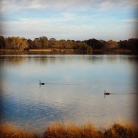Swans afloat