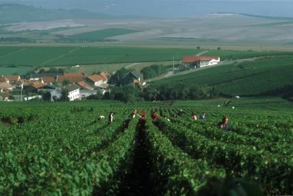 Champagne 2011 harvest