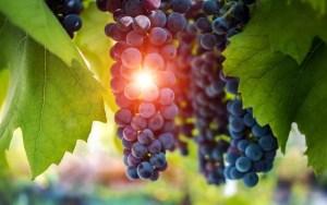 uvas al atardecer