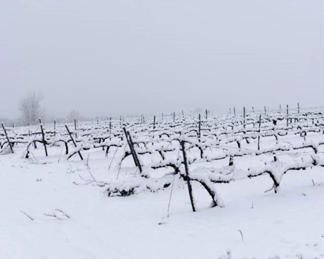 viñedo nevado