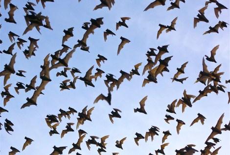 bracken bats