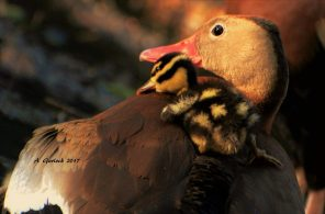 Whistling Duckling on Mama