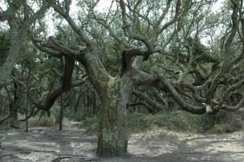 Blackbeard's Oak