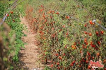 【台南親子體驗】冬日裡的紅寶石番茄園,平假日都開放採收的另類小孩園地:黃家番茄園