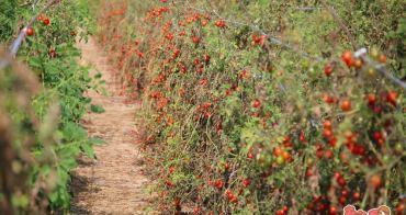 【台南景點】冬日裡的紅寶石番茄園,平假日都開放採收的另類小孩園地:黃家番茄園