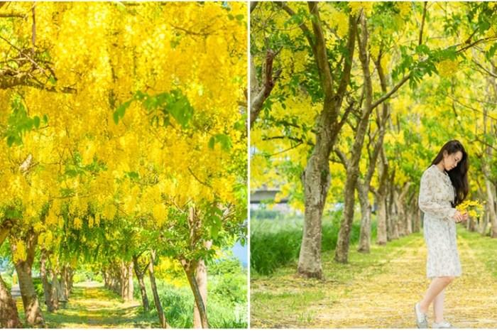 【台南景點】台南新化阿勃勒賞花秘境,最浪漫的金色隧道在這