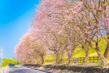 【台南賞花】台南落下三月粉色花雨!這三個台南景點你必須拍上一波~
