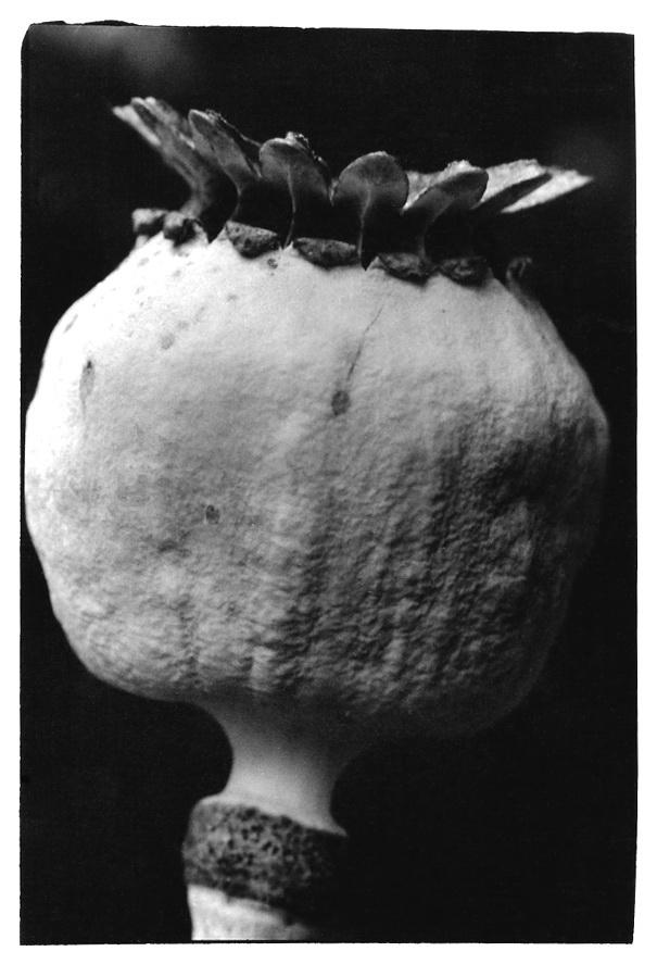 Tête de pavot, macro, noir et blanc argentique, Jean-Pierre Devals