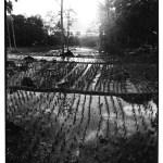 Reflets dans rizières, Indonésie, noir et blanc, argentique, Devals