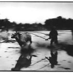 Karapan sapi, Indonésie, , photographie noir et blanc