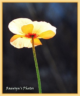 Poppy in the light (534x640)