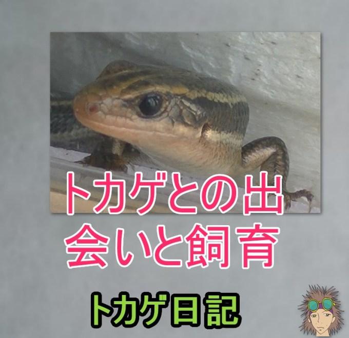 トカゲとの出会いと飼育