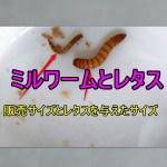ミルワームにレタスを与えるとすぐに大きくなる販売時点では小さすぎるトカゲの生餌は育てよう