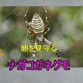 卵を見守るナガコガネグモ