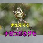感動ナガコガネグモが卵を生んで見守る姿と突然の死|卵のうが突然現れたので育ててみようかな