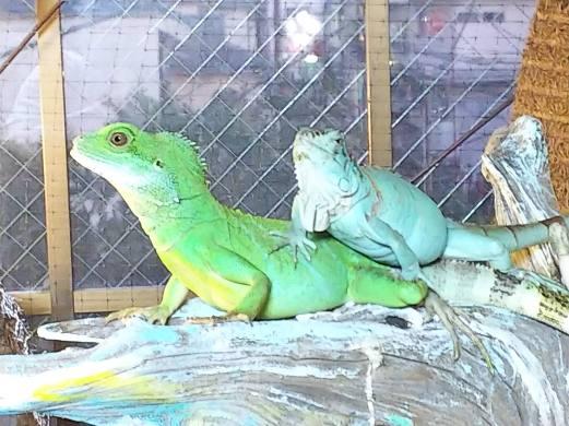 インドシナウォータードラゴンとグリーンイグアナの仲の良さ