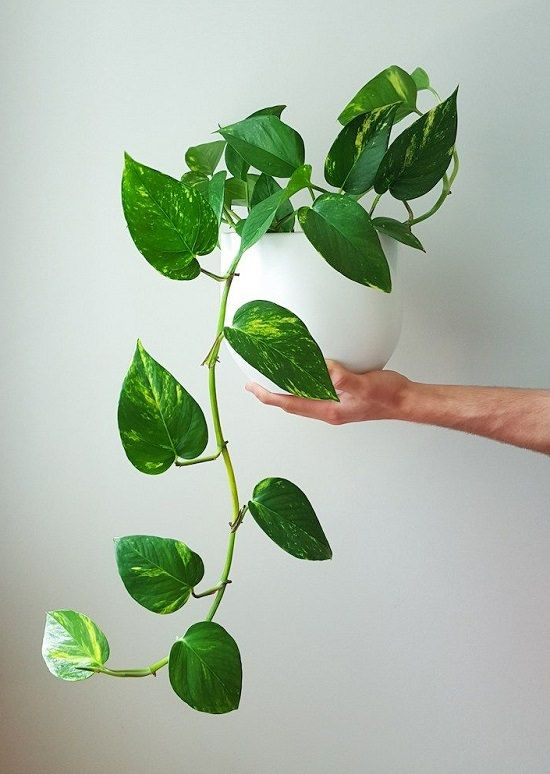 Plantes purificatrices: Pothos