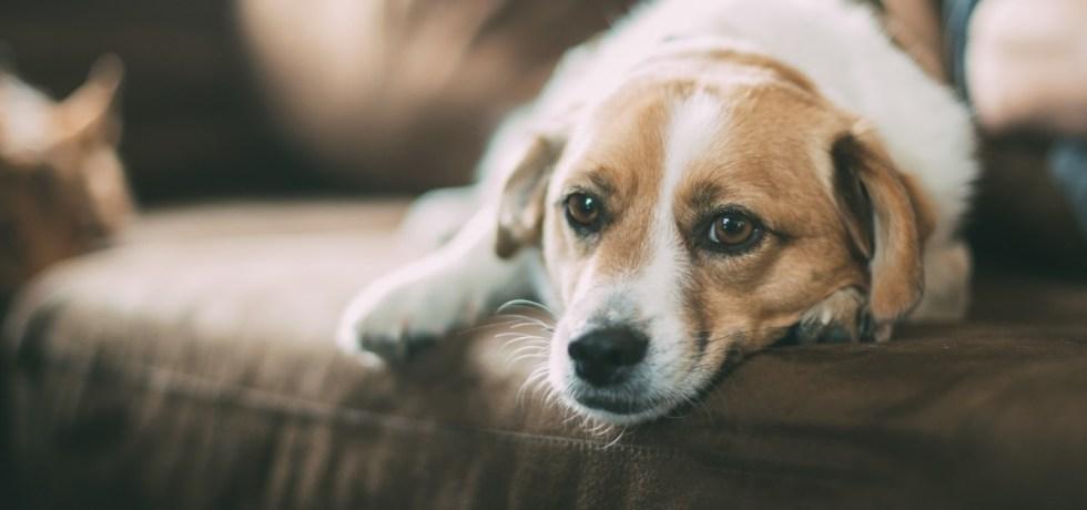 Maison propre et chien sur le sofa