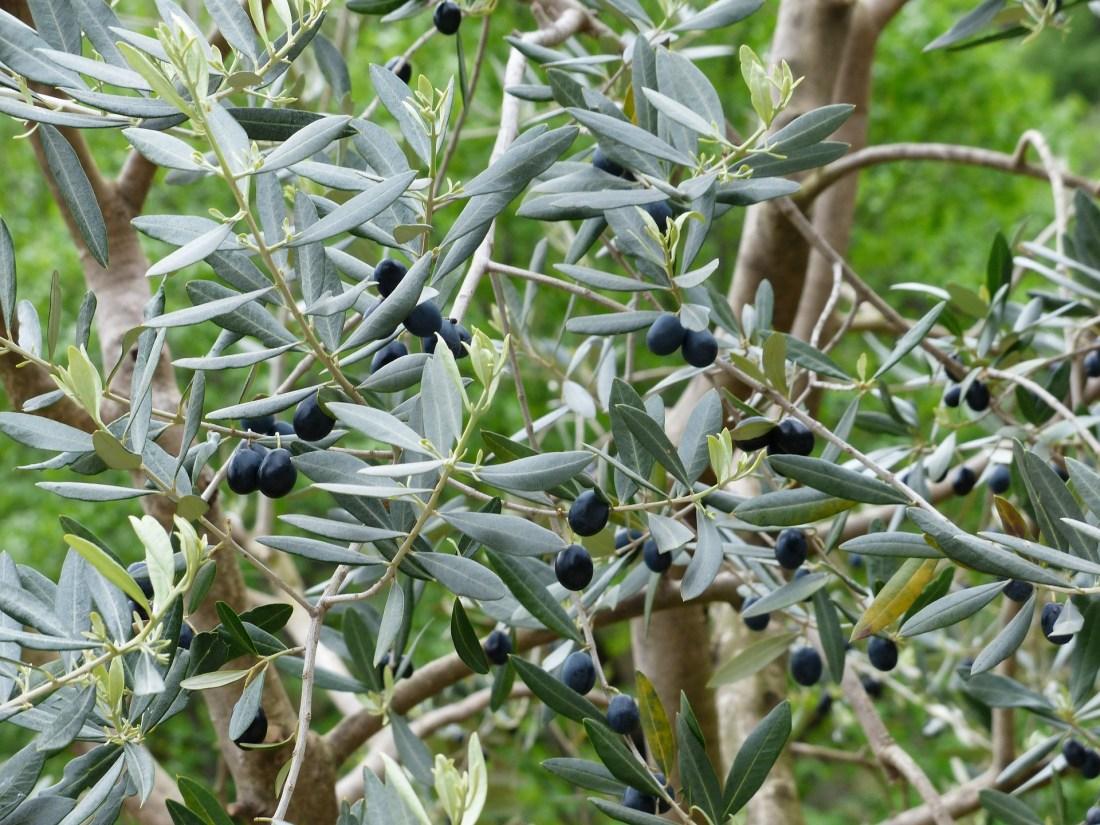 olives-357852_1920