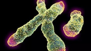 _69874387_x_and_y_chromosome_with_telomeres-spl-1