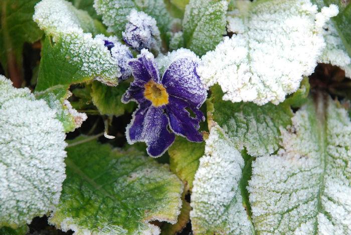 παγετος χιονι φυτα