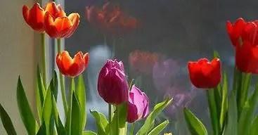 Tulips In Vase 77