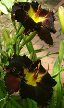 Daylily Garden 15
