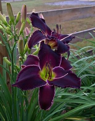Daylily Garden 16