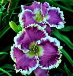 Daylily Garden 26