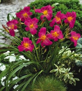 Daylily Garden 27