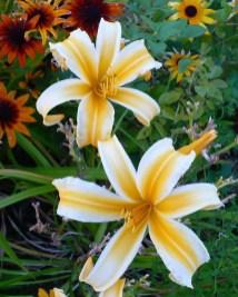 Daylily Garden 42
