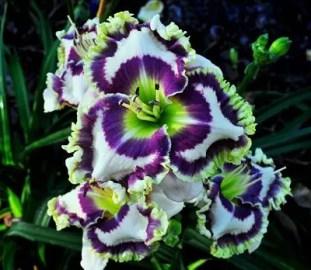 Daylily Garden 60