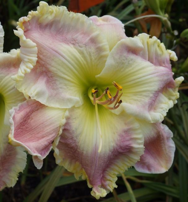 Daylily Garden 61
