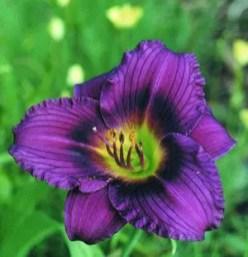 Daylily Garden 67