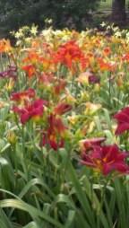 Daylily Garden 79