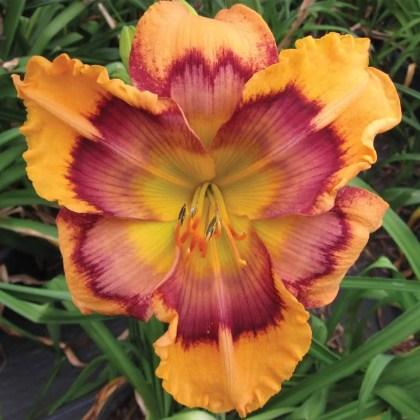 Daylily Garden 84