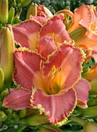 Daylily Garden 89