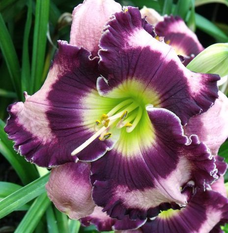 Daylily Garden 95