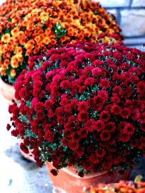 Fall Flowers To Plant 3