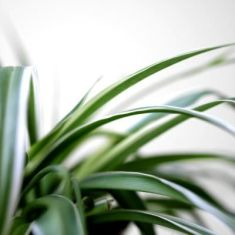 Spider Plant Care 2