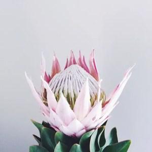 Protea Flower 13