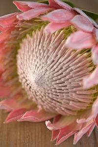 Protea Flower 14
